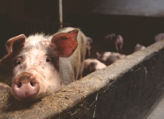 What does the global increase of pork mean for the Meat Industry?
