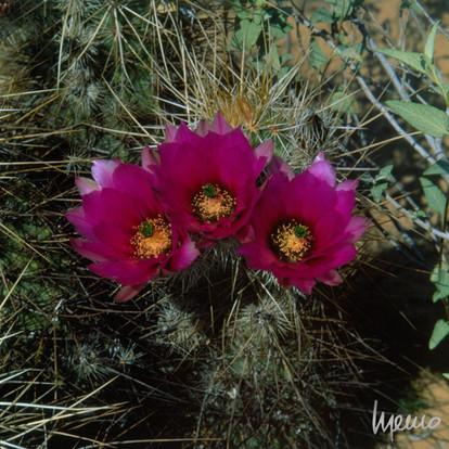 Flores de biznaguilla en el desierto