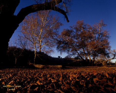 Alisos en el cañón de Evans, Cananea