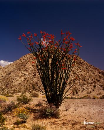 """Ocotillo con flores en """"El Pinacate"""""""