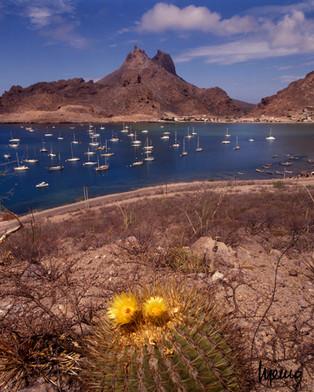 Flores de biznaga en la Bahía de San Carlos, al fondo el cerro Tetakawi, Guaymas