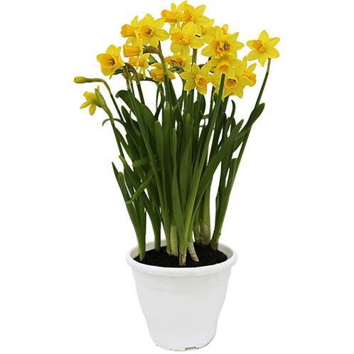 narcissus amarelo p14