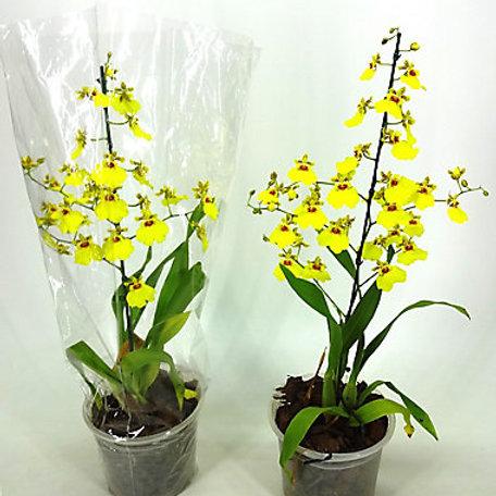 Orquídea Oncidium Aloha Pote 15