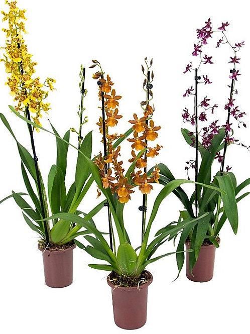 Orquídea hawaiian - P14