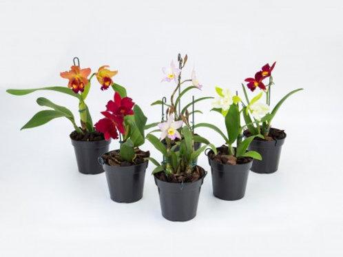 Orquidea Cattleya Variada - P12