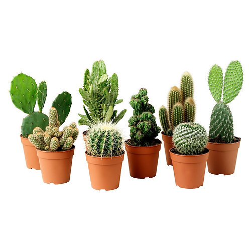 Cactus e suculentas P06