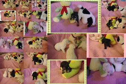 2012-09-14 schnoodles born Aug_jpg_opt61
