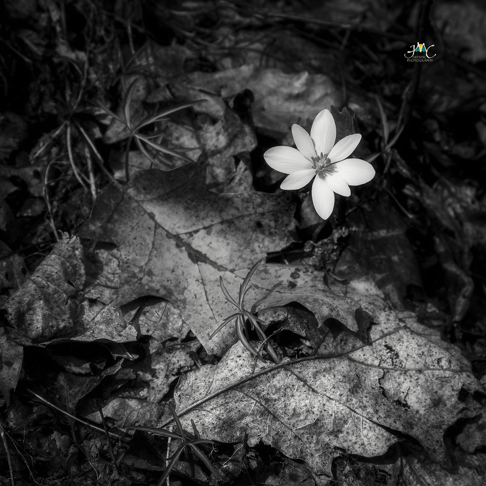 Bloodroot  by: jmcartisticphotography.com