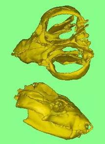 cynodont.jpg