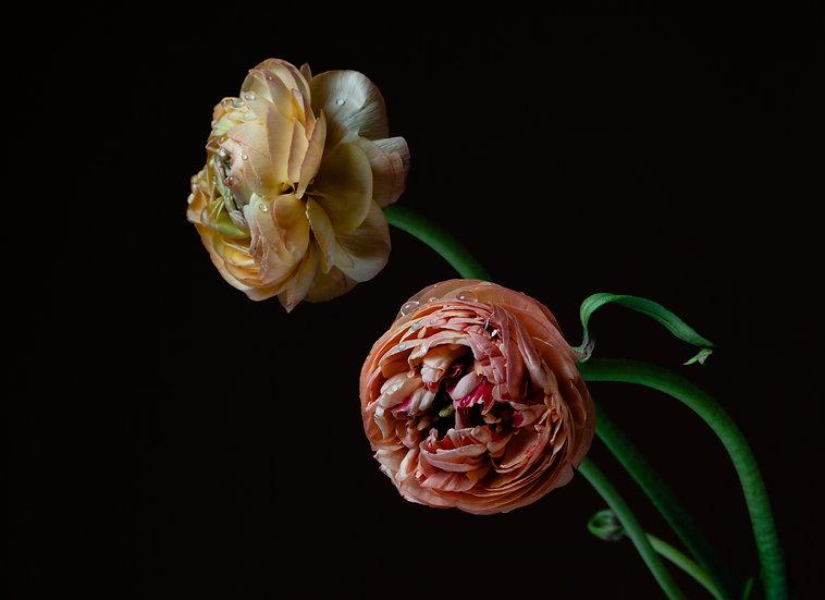 Ranunculus With Raindrops Print
