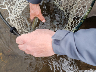 Releasing a Good Size Trout