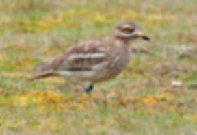 Stone Curlew.jpg
