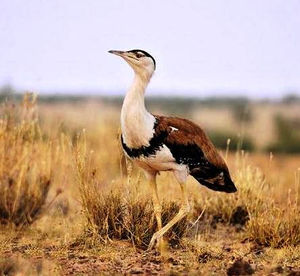 Ali wanted Great Indian Bustard as the national bird