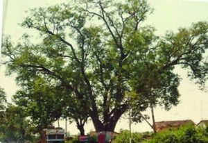 A tree in Jabalpur where Thug Behram and his gang were executed by hanging