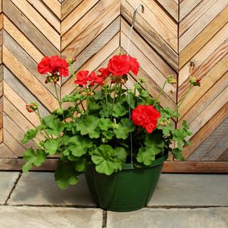geranium basket 9.jpg