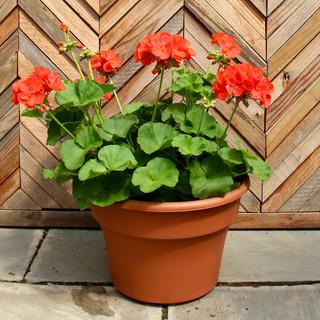 12 geranium 7.jpg