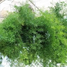 Asparagus Fern Basket
