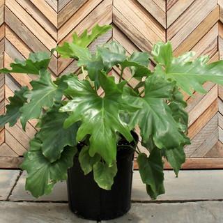 Philodendron Split Leaf