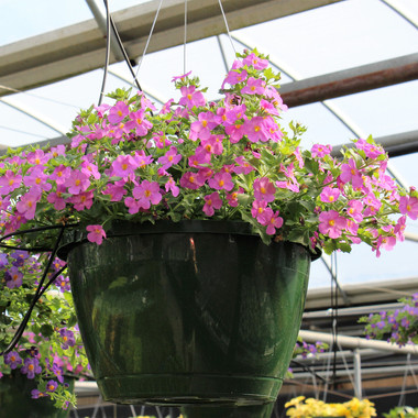 Bacopa Snowstorm Pink