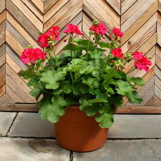 12 geranium 17.jpg