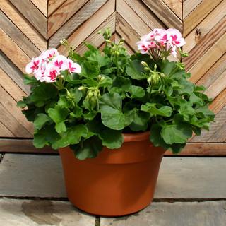 12 geranium 15.jpg