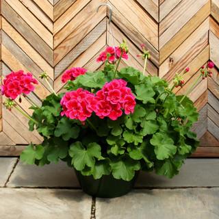 geranium basket 15.jpg