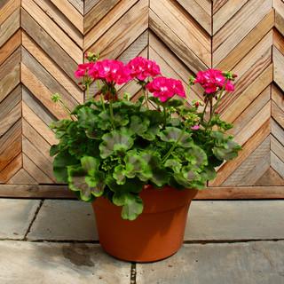 12 geranium 6.jpg