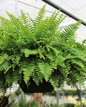 Boston Fern Basket.jpg