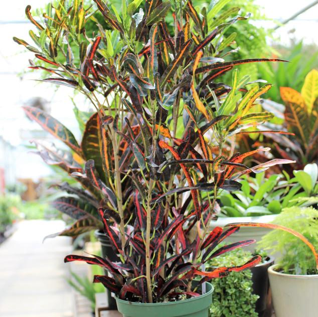 Croton Red Banana