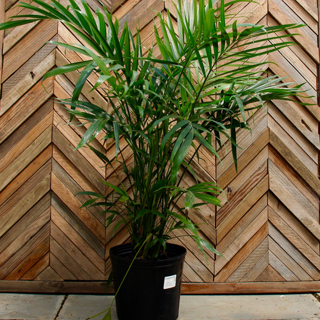 2 Gal Cat Palm