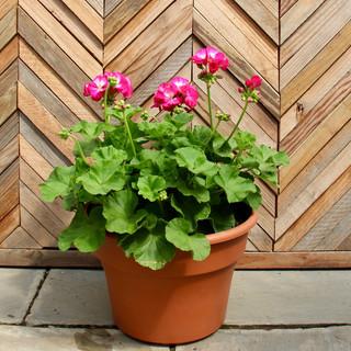 12 geranium 5.jpg
