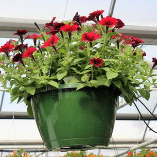 Petunia Black Cherry Basket.jpg