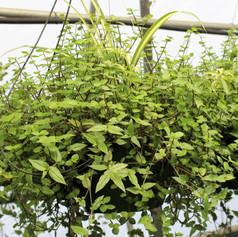 Mixed Foliage Basket 3
