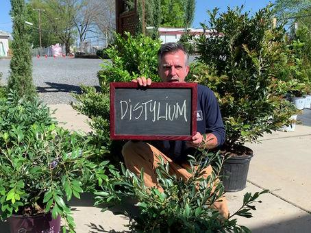 Distylium!!!