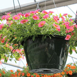 Calibrachoa Pink Basket