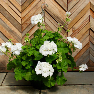 geranium basket 13.jpg