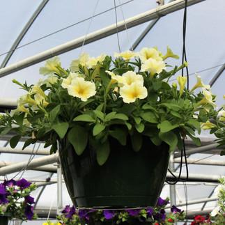 Petunia Yellow Basket.jpg