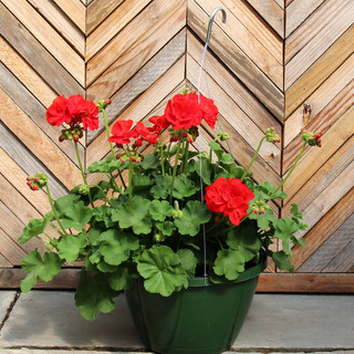 geranium basket 4.jpg