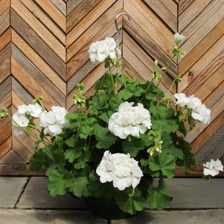 geranium basket 7.jpg