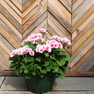 geranium basket pink splash.jpg