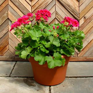 12 geranium 8.jpg