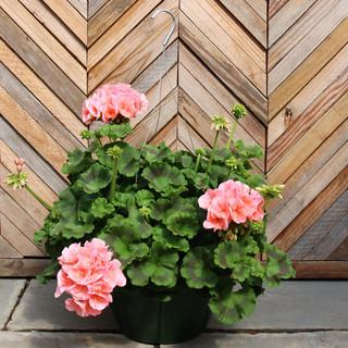 geranium basket 2.jpg