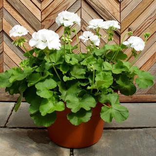 12 geranium 13.jpg
