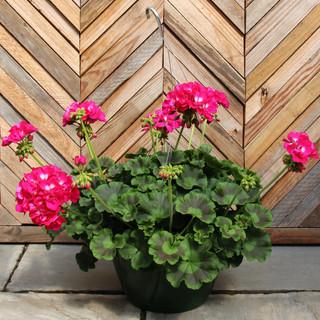 geranium basket 6.jpg