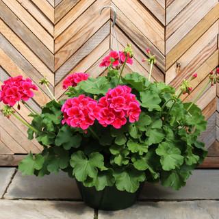 geranium basket 5.jpg