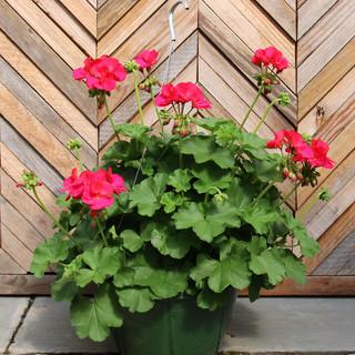 geranium basket 1.jpg