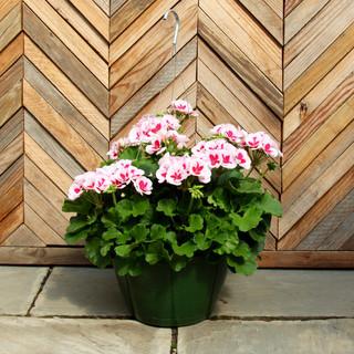 geranium basket 10.jpg