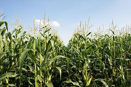 corn-field_Mk8z98du.jpg