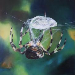 Garden spider spinning