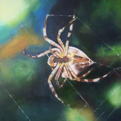 Garden spider mending it's web